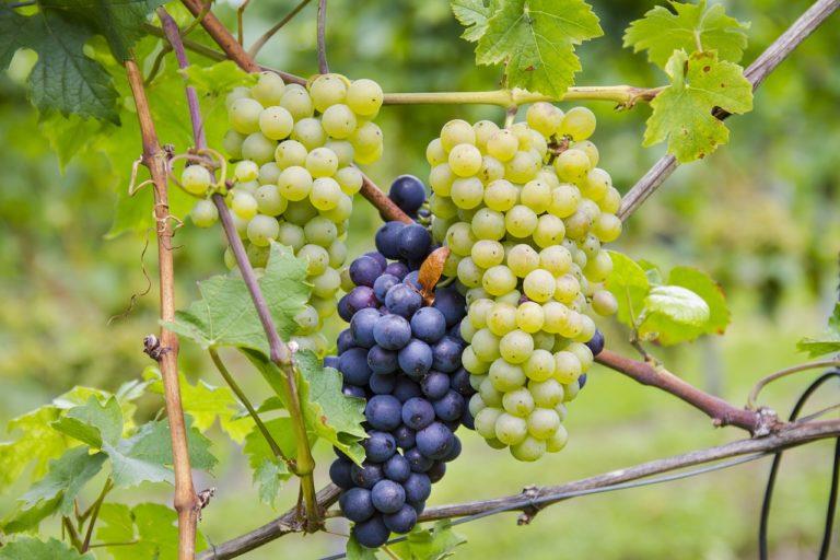 Naturalny 100% sok NFC z białych i czerwonych winogron